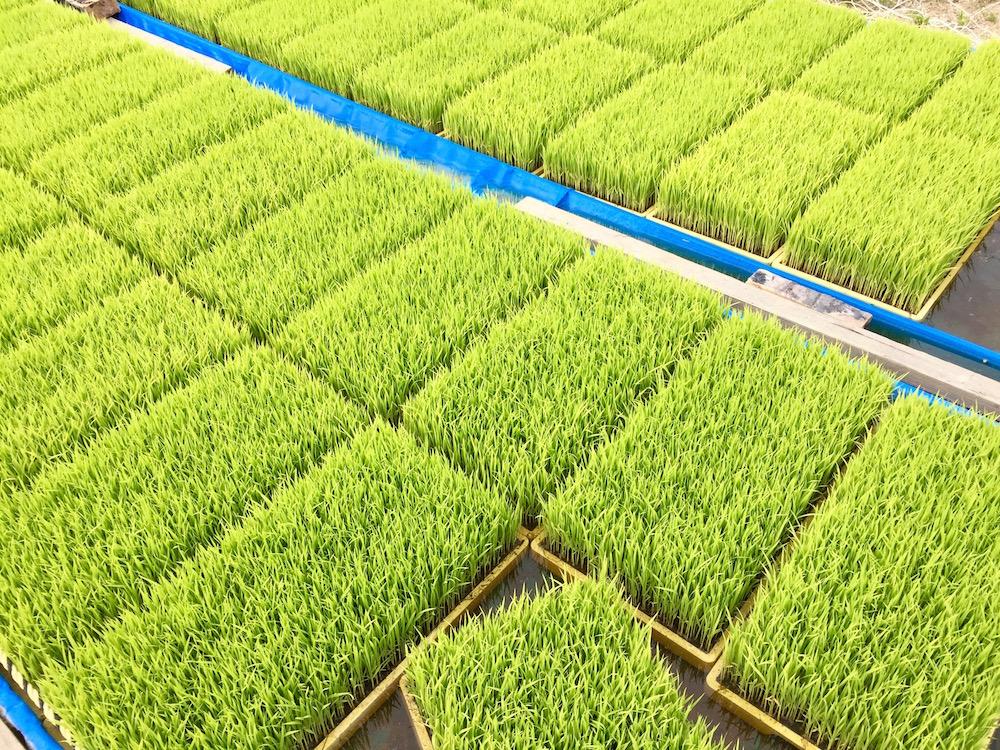 田植え前の稲。6月18日19日は稲作ワークショップ!